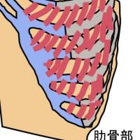 肋骨イラスト