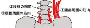 腰部解剖イラスト